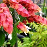 Justicia brandegeana, The Shrimp Plant for Tropical Gardens