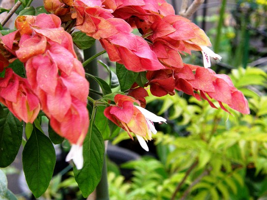 Justicia brandegeana, The Shrimp Plant