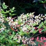 Lovely and Colorful Shrub for Evergreen Gardens: Nandina domestica