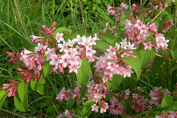 Shrubs and bushes the lovely plants weigela florida mightylinksfo