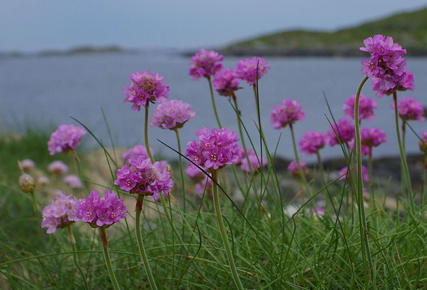 Armeria maritima, Sea Pink, Thrift