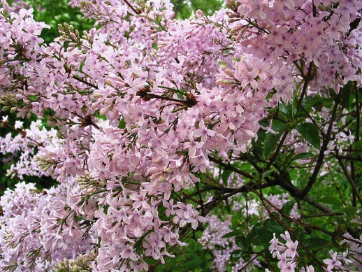 Lilac, Flowering Shrub