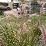 Pennisetum: Ornamental Grasses for Landscapes and Gardens