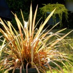 Evergreen Foliage Plant for Landscape Designs: Phormium
