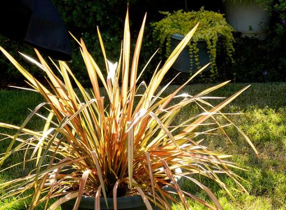 Phormiumm New Zealand flax