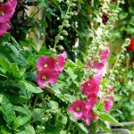 Beautiful Flowering Plant for Landscapes, Alcea rosea (Hollyhock)