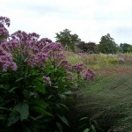 Flowering Shrub for Perennial Borders: Eupatorium purpureum