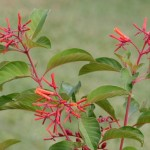 Lovely, Evergreen Bush: Hamelia patens, the Firebush