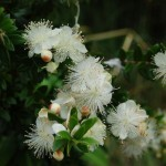 Lovely Shrub for Gardens: Myrtus communis (Myrtle)