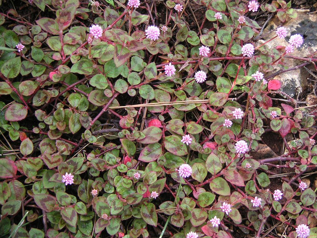 colorful ground cover with lovely flowers polygonum capitatum