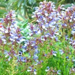 Ornamental Shrub for Gardens and Landscapes: Salvia chamelaeagnea