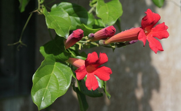 Lovely flowering vine for tropical garden distictis buccinatoria distictis buccinatoria mightylinksfo Image collections