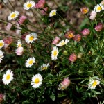Lovely Plant for Borders and Edges: Erigeron