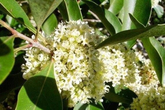 Olinia ventosa the hard pear tree mightylinksfo