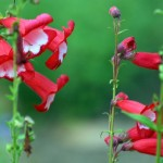 Lovely Perennials for Sunny Gardens: Penstemon