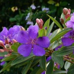 Tropical Shrubs and Trees for Lovely Flowers: Tibouchina