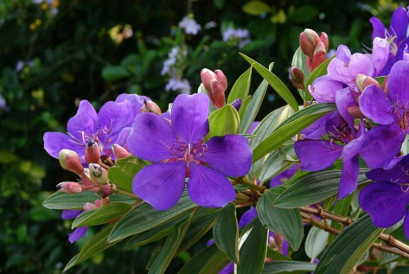 tropical shrubs and trees for lovely flowers tibouchina, Natural flower