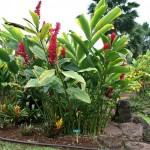 Ornamental Red Ginger Plant: Alpinia purpurata