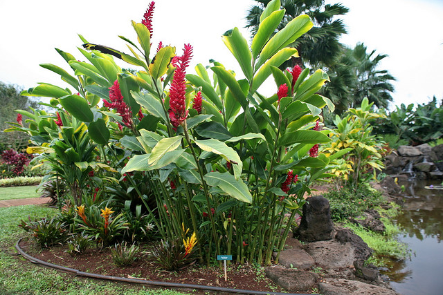 ornamental red ginger plant alpinia purpurata