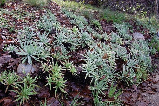 Dudleyas in Landscape