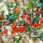Small and Beautiful Shrubby Tree for Gardens: Halleria