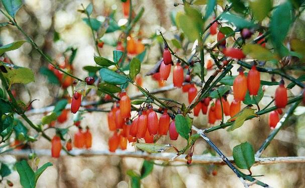 Halleria shrub