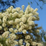 Lovely Foliage and Flowering Trees: Melaleuca
