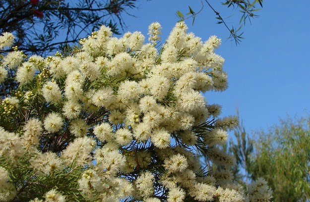 Lovely Foliage And Flowering Trees Melaleuca
