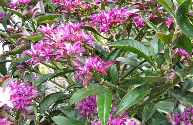 Pereskia grandiflora var voilacea