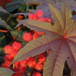 Ricinus communis, Castor Oil Plant for Gardens and Landscapes