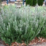 Lovely & Aromatic Shrub for Gardens: Rosmarinus officinalis