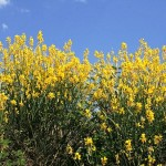 Lovely, Flowering Shrub for Landscapes: Spartium junceum