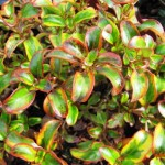 Lovely and Colorful Foliage Plants: Coprosma