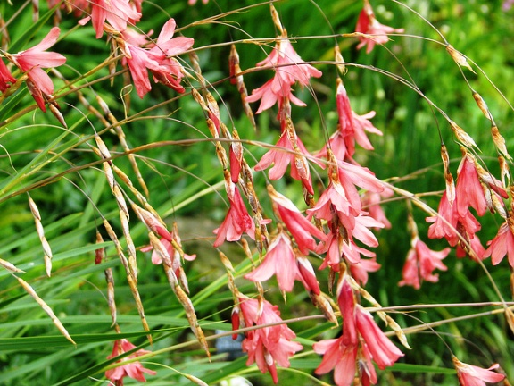 Dierama, Angel's Fishing Rod