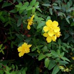 Lovely Flowering Shrub: Hypericum, the Rose of Sharon