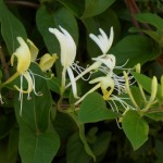 Unforgettably Fragrant and Lovely: Lonicera, the Honeysuckle