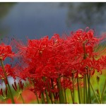 Lovely Lycoris