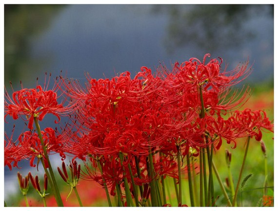 Lycoris radiate