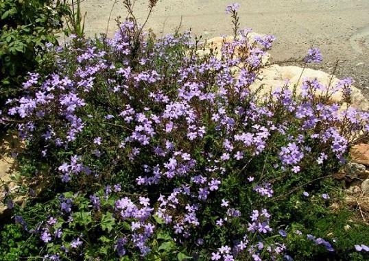 Sutera grandiflora, Wild Phlox