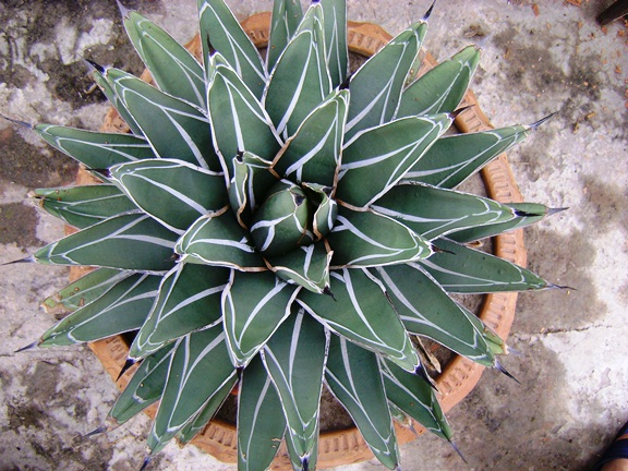 Agave nicklesiae, King Ferdinand