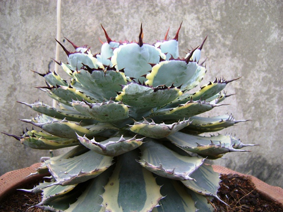 Agave potatorum, Kissho Kan