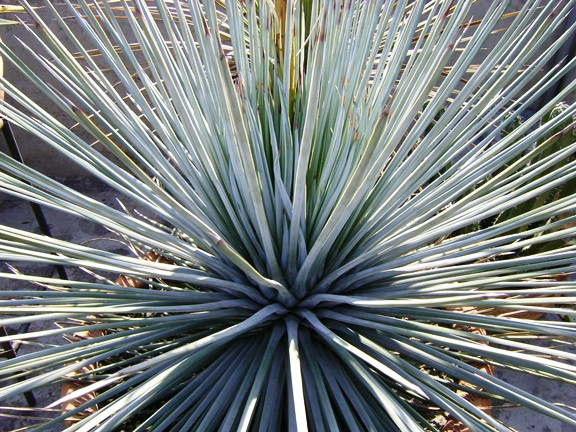 Agave striata, Live Wires