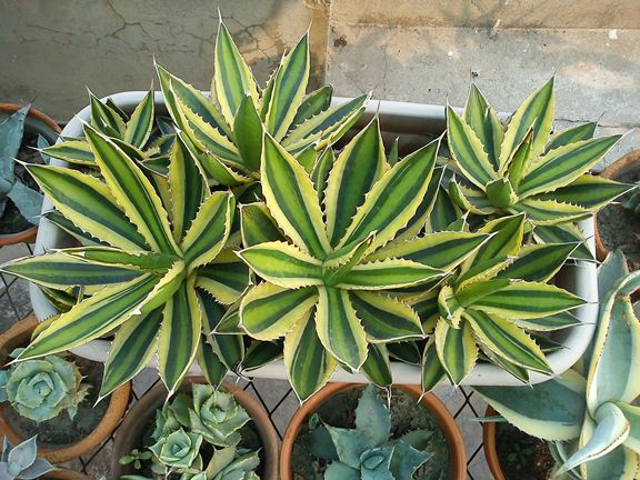 Agave lophantha 'Quardicolor'