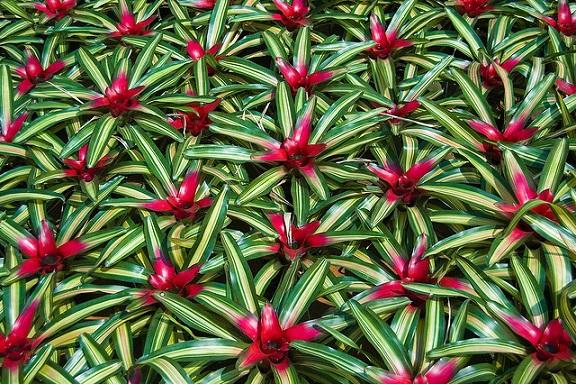 Neoregelia plants