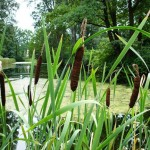 Beautiful Foliage Plant for Marshy Soil: Typha, the Bullrush