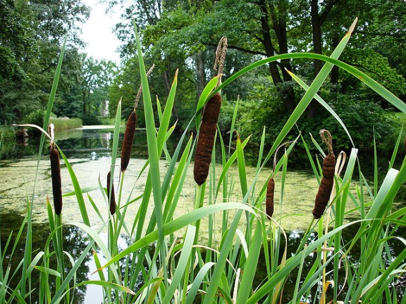 Typha, the Bullrush plant