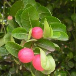 Evergreen Shrub for Lovely Gardens: Carissa carandas