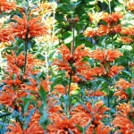 Hardy and Versatile Flowering Shrub: Leonotis leonurus