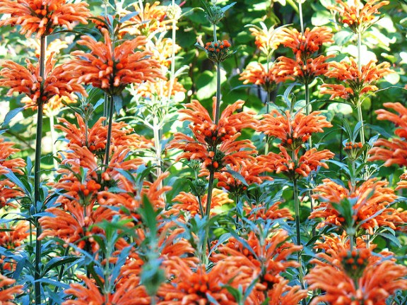 Leonotis leonurus, the Lion's tail
