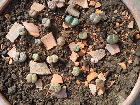 A bunch of Lithops